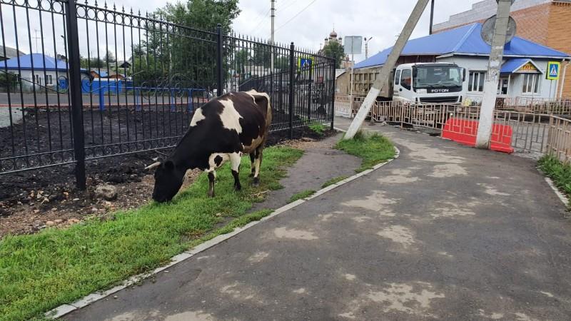 Минсельхоз Кузбасса напоминает жителям о правилах выпаса скота