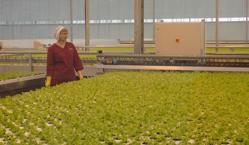 С начала года в кузбасских теплицах вырастили более 7 тыс. тонн овощей
